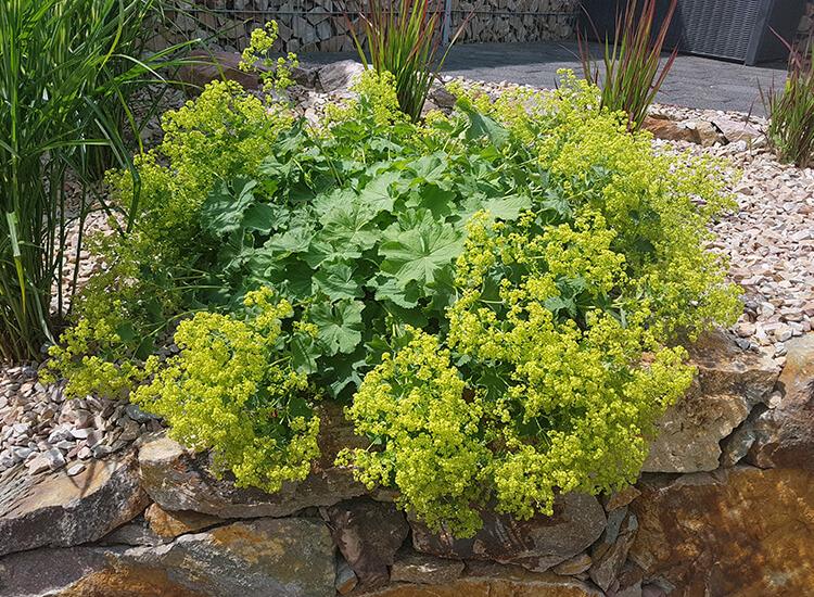 Hoveniersbedrijf-Loek-Barte-Tuinadvies-Snoeien-Vaste-Planten-04