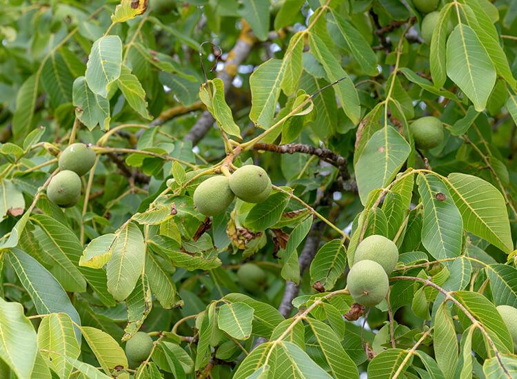 Hoveniersbedrijf-Loek-Barte-Tuinadvies-Snoeien-van-verschillende-Soorten-Bomen-02