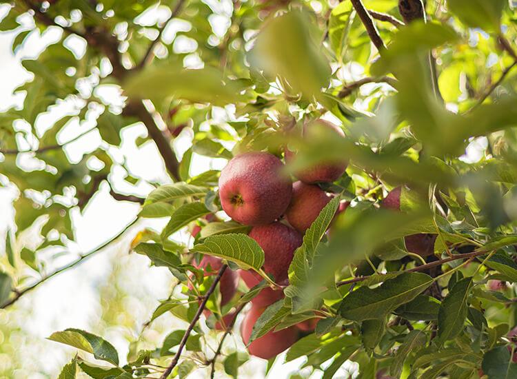 Hoveniersbedrijf-Loek-Barte-Tuinadvies-Snoeien-van-verschillende-Soorten-Bomen-05