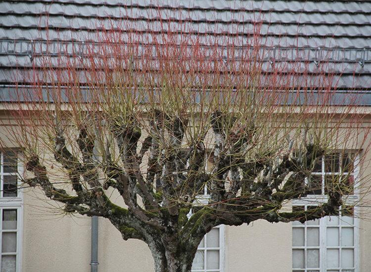 Hoveniersbedrijf-Loek-Barte-Tuinadvies-Snoeien-van-verschillende-Soorten-Bomen-06